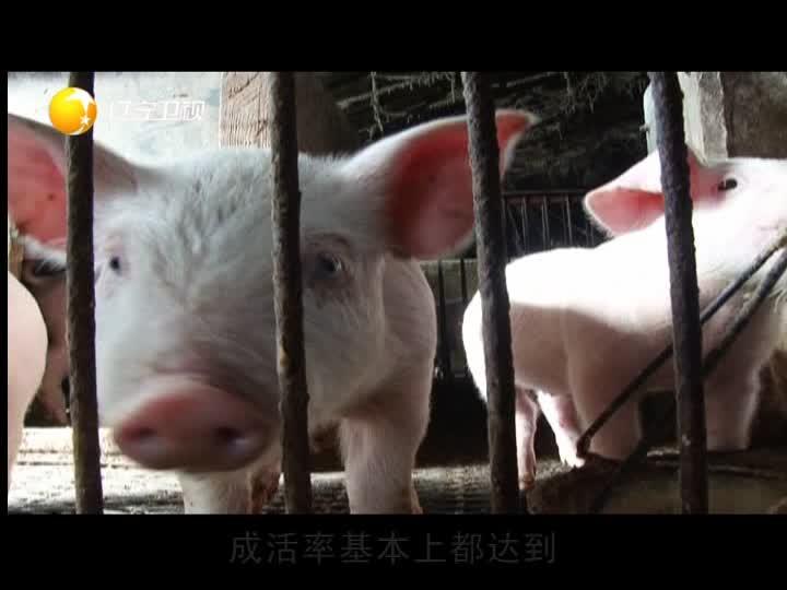 辽宁卫视报道长沙绿叶公司保健养猪