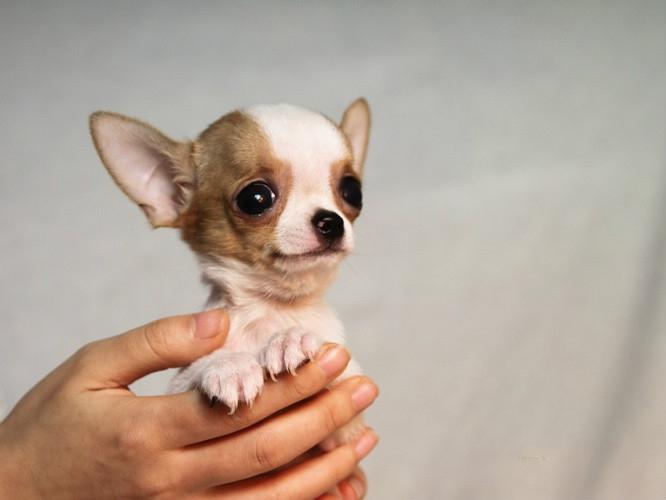 白眼球发黄图片_超小黄白大眼睛吉娃娃幼犬出售 茶杯犬 成年两斤 可视频可上门