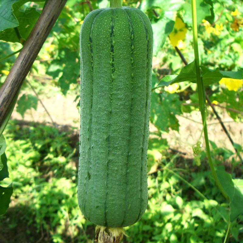 闭月羞花 肉丝瓜种子 香肉丝瓜种子 蔬菜种子 阳台种植 家庭种植图片