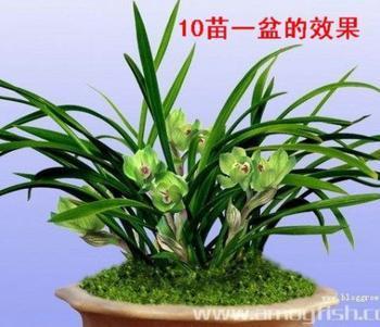 超好看矮春兰 兰花 兰花苗 植物花卉绿植盆栽 室内迷你创意盆景图片