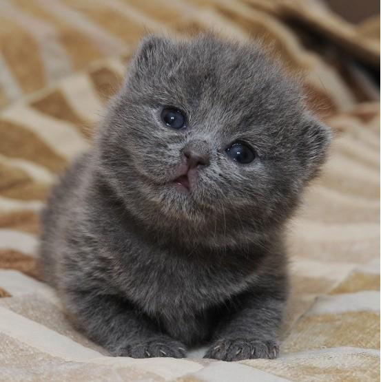 【悻悻&喵屋】家养赛级英国短毛猫/蓝猫,大头版 找妈妈