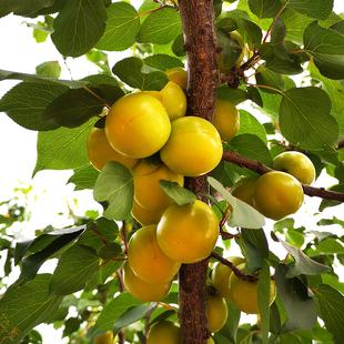 农家现摘现发当季孕妇水果杏子时令桃子特产珍珠油杏新鲜水果5斤