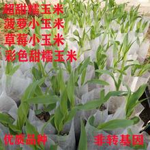 玉米苗种子种苗幼苗超甜黄糯彩糯菠萝小玉米四季阳台庭院田园