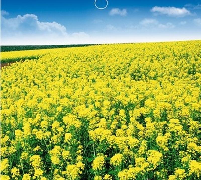油菜花种子 茎叶作蔬菜食用 摄影首选背景多年生易栽花期长 耐寒图片