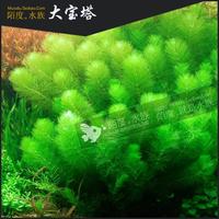 [陌度水族]大宝塔 观赏鱼虾缸箱造后景装饰真水草 二代草水中叶