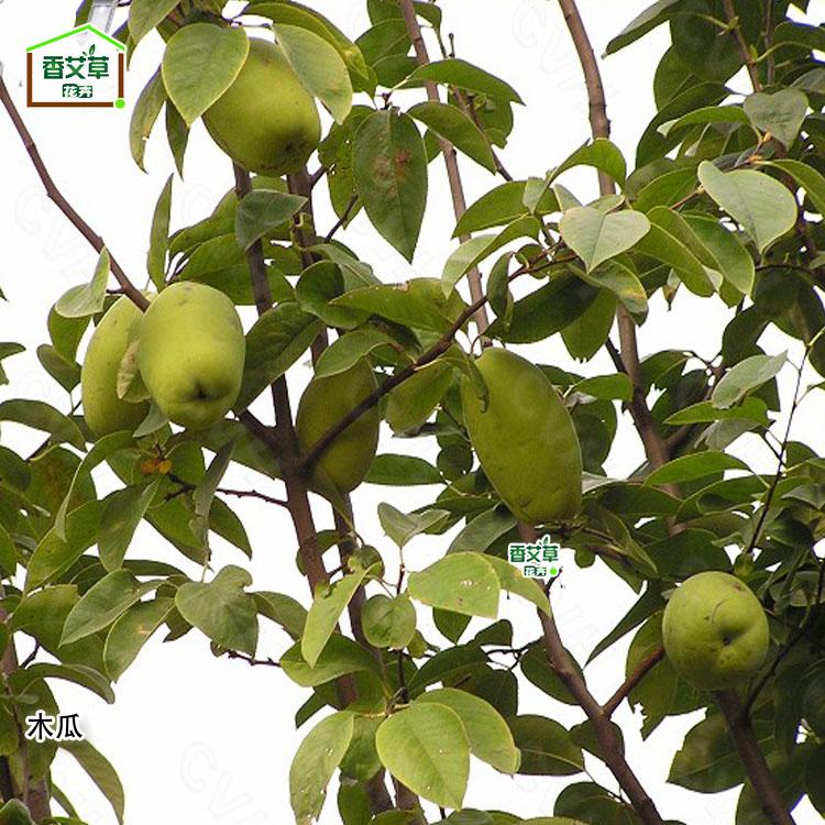 奈树香儿_庭院花卉绿化可盆栽果树苗 芳香观果实植物 观赏香木瓜树非食用
