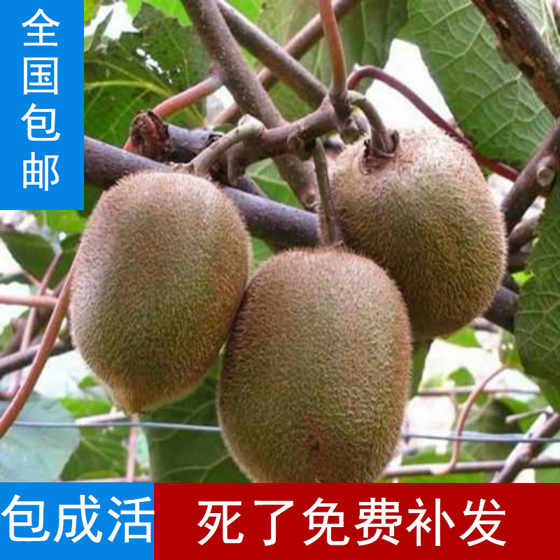 猕猴桃树苗 果树苗盆栽地栽 新西兰奇异果 猕猴桃树苗 当年结果