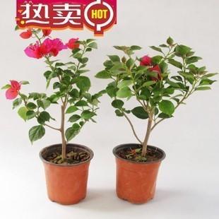 绿植 花卉 三角梅苗 三角梅大苗三角梅盆栽庭院室内盆栽 盆景花卉