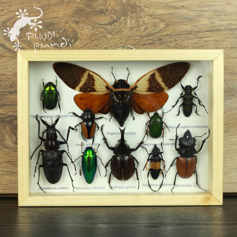 壁虎小屋 真昆虫标本 创意家居饰品 吉祥壁挂 蝉 新奇独特工艺品图片