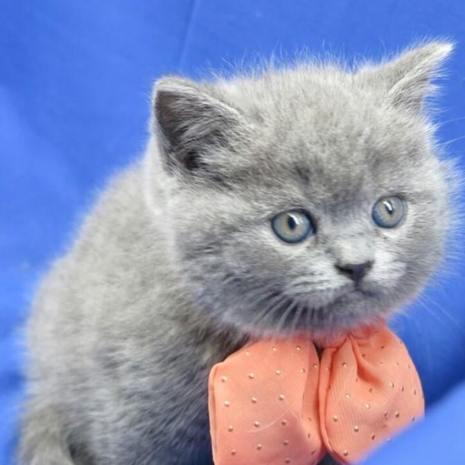 阿强名猫馆@个人培育英国短毛猫 大头蓝猫 赛级宝贝 超好打理