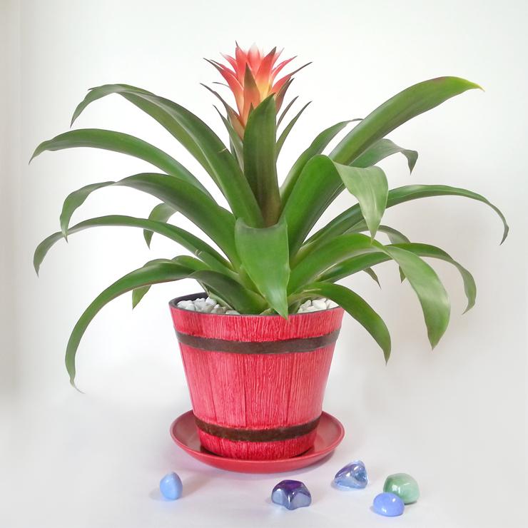 促销水培凤梨鸿运当头室内植物花卉盆栽净化空气精品鸿运当头特价