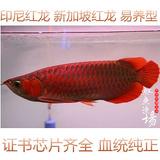新加坡红龙鱼视频_新加坡红龙鱼网上专卖店_新加坡红龙鱼怎么样_新加坡红龙鱼长大 ...