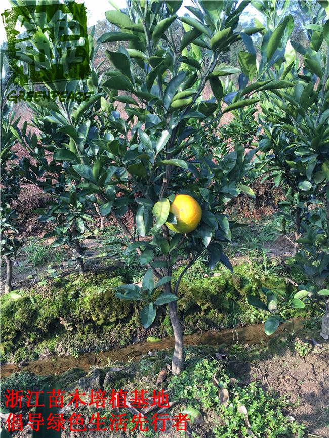 基地直销1-4年生正宗黄岩蜜橘子树苗无核蜜桔