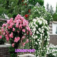基地直销优质多花无刺蔷薇 藤本月季苗盆栽爬藤植物循环开花包活