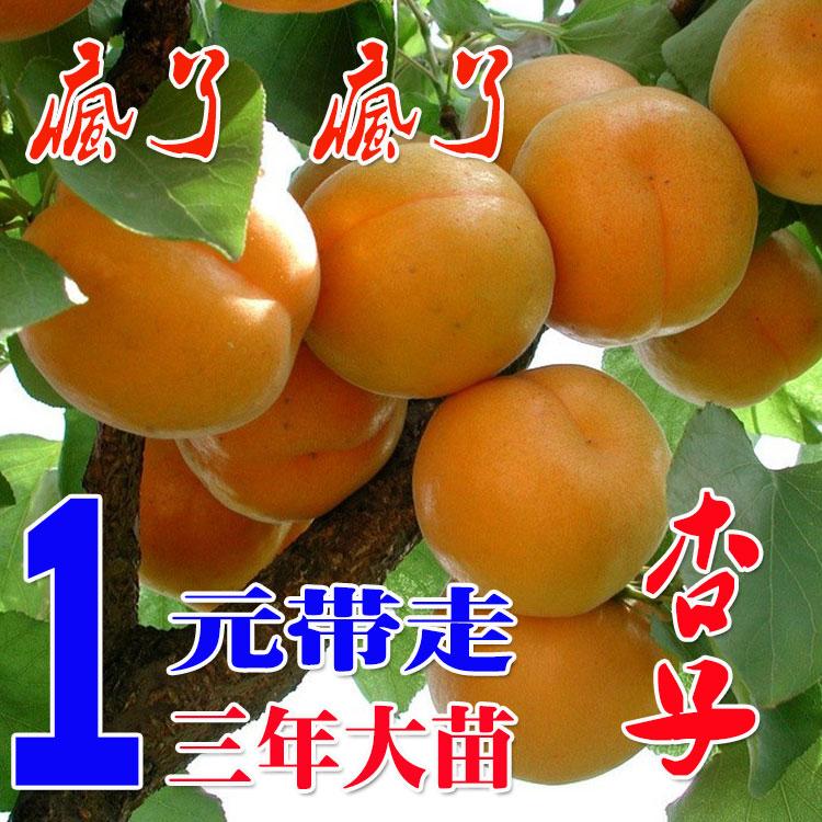南北方果全集玩具杏子嫁接视频苗种植红玉杏树树苗树苗大奥特曼图片