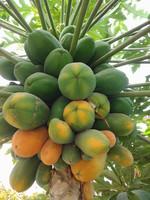海南新鲜木瓜种子番木瓜种子番木瓜热带水果木瓜种子