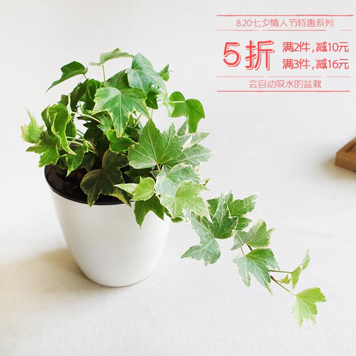 屿路吊兰水培植物常春藤绿植盆栽花卉室内桌面盆景办公室植物包邮