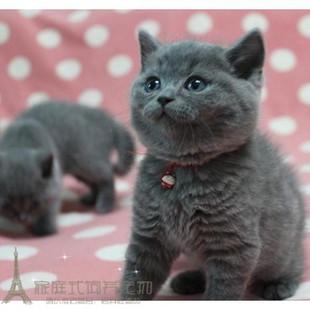 上海猫舍英短蓝猫活体幼猫英国短毛猫英短立耳蓝猫折耳宠物猫8