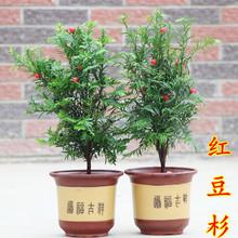 正宗南方红豆杉树苗带果曼地亚室内盆景盆栽绿植吸甲醛植物