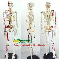 进口颐诺医学人体骨骼解剖肌肉脊柱神经可弯曲拆卸瑜伽架模型