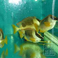 海峰水族 海水鱼 活体 海水鱼 观赏鱼 小丑鱼 七彩狐狸