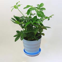 常绿盆栽花卉植物鸭脚木七叶莲鹅掌柴鸭掌木吸毒王吸甲醛净化空气
