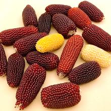 草莓玉米种子爆裂文玩甜红爆米花四季播高产菠萝糯盆栽春季蔬菜种